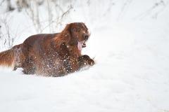 Incastonatore rosso irlandese della razza del cane Immagini Stock