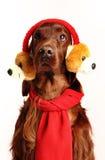 Cane irlandese dell'incastonatore rosso nel cappello Fotografia Stock