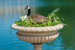 Incastramento canadese dell'oca in vaso decorativo Immagine Stock Libera da Diritti