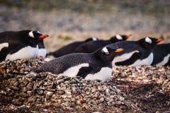 Incastramento del pinguino di Gentoo fotografia stock libera da diritti