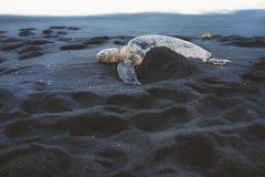 Incastramento della tartaruga di mare sulla spiaggia Fotografia Stock Libera da Diritti