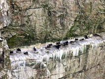 Incastramento di Cormorant su una roccia dell'oceano Fotografia Stock