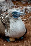 Incastramento footed blu della testa di legno nelle isole Galapagos Fotografie Stock