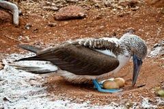 Incastramento footed blu della testa di legno nelle isole Galapagos Immagine Stock