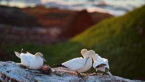 Incastramento nordico di bassanus del Morus di sula su una roccia stock footage