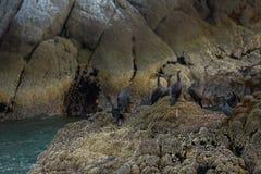 Incastramento pelagico del cormorano sulle rocce in oceano Pacifico fotografie stock