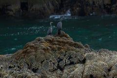 Incastramento pelagico del cormorano sulle rocce in oceano Pacifico immagini stock
