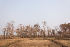 Incendi forestali con gli alberi bruciati Immagine Stock