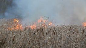 Incendi violenti o fuoco della tempesta nella steppa della foresta Gran quantità delle fiammate dell'erba asciutta alte in fiamme stock footage