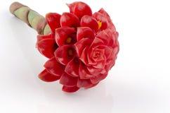 Incendiez le gingembre, zingiberaceae de famille de fleurs d'elatior d'Etlingera RM Smith d'elatior d'Etlingera ((Jack).). Photographie stock libre de droits