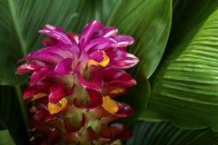 Incendiez le purpurata rouge d'Alpinia de fleur de gingembre avec sur les feuilles vertes photo stock