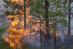 Incendio forestal del pino Fotografía de archivo