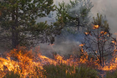 Incendio forestal del pino Foto de archivo