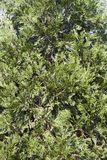 Incense cedar. Shrub Calocedrus decurrens stock images