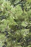Incense cedar. Shrub Calocedrus decurrens royalty free stock image