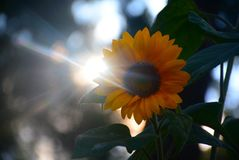 Inception of the sun. A sunflower with a twist of the rays of the sun stock photos