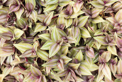 Inch plant ,Wandering jew or Tradescantia zebrina. Top view of Inch plant ,Wandering jew or Tradescantia zebrina Stock Images