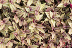 Inch plant ,Wandering jew or Tradescantia zebrina Stock Photo