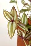 Inch plant, Wandering jew Tradescantia zebrina var. Zebrina Royalty Free Stock Photos