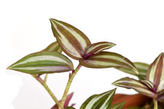 Inch plant, Wandering jew Tradescantia zebrina var. Zebrina Stock Photo