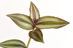 Inch plant, Wandering jew Tradescantia zebrina var. Zebrina Stock Image