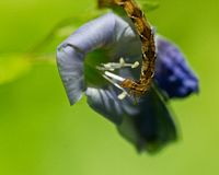 Inch worm eating a flower Stock Photography