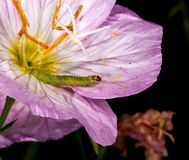Inch Worm Royalty Free Stock Images