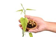 Inchi de Sacha, inchi de Sacha, arachide de Sacha mani, d'Inca, arbre et graines à disposition photo stock