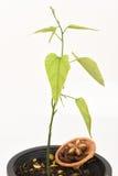 Inchi de Sacha, inchi de Sacha, Sacha mani, arachide d'Inca, arbre photo stock