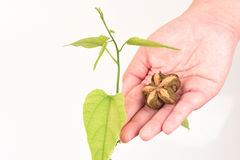 Inchi de Sacha, inchi de Sacha, Sacha mani, arachide d'Inca, arbre image libre de droits