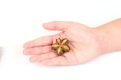 Inchi de Sacha, inchi de Sacha, Sacha mani, arachide d'Inca, grain en main image libre de droits