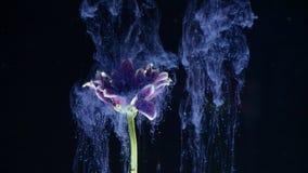 Inchiostro in acqua con un fiore L'inchiostro multicolore meravigliosamente cade sui fiori immersi in acqua archivi video
