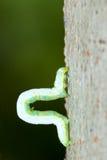 Inchworm Stock Image