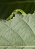 Inchworm on birch leaf Royalty Free Stock Photos