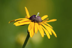 Inchworm on Black-eyed Susan Stock Photos