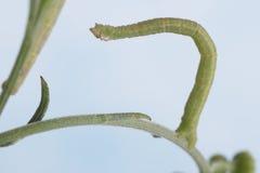 Inchworm na haste da flor Fotografia de Stock