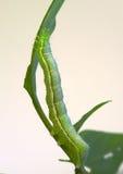 Inchworm su una foglia del ramoscello Fotografia Stock