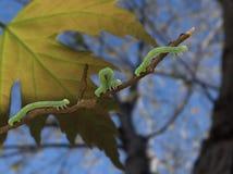 Inchworms en una rama quebrada Imagenes de archivo