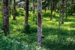 Incisión en el tronco de una Hevea del árbol de goma a lo largo del canal cuyo flujos la savia de goma blanca del árbol foto de archivo