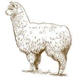 Incisione dell'illustrazione di disegno del lama lanuginoso royalty illustrazione gratis