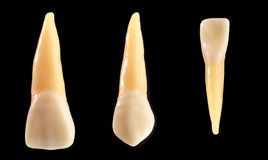 Incisor and canine teeth isolated on black