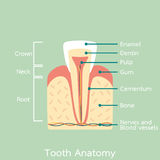 Incisor tooth anatomy structure including the bone and gum and detail word Royalty Free Stock Photography