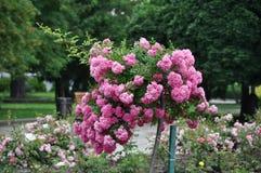 Incliné s'est levé l'arbre en fleur luxuriante photographie stock libre de droits