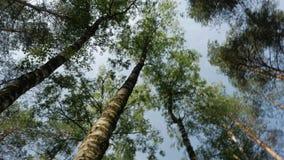 Inclinação abaixo da ideia da paisagem com as árvores altas verdes, céu azul da floresta, sol brilhante no dia bonito da manhã do filme
