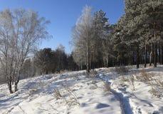 Inclinação da neve com vidoeiros e pinhos foto de stock