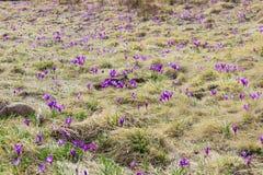 Inclinação de montanha com o vernus dos açafrões entre a grama murcho Foto de Stock