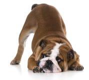 Inclinación del perro imágenes de archivo libres de regalías