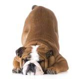 Inclinación del perro imagenes de archivo