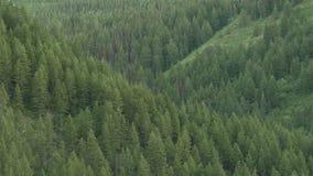 Inclinación encima de la extensión del bosque del árbol de pino almacen de video