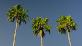 Inclinación lenta del día de la calma del cielo del ble de las palmeras abajo almacen de video